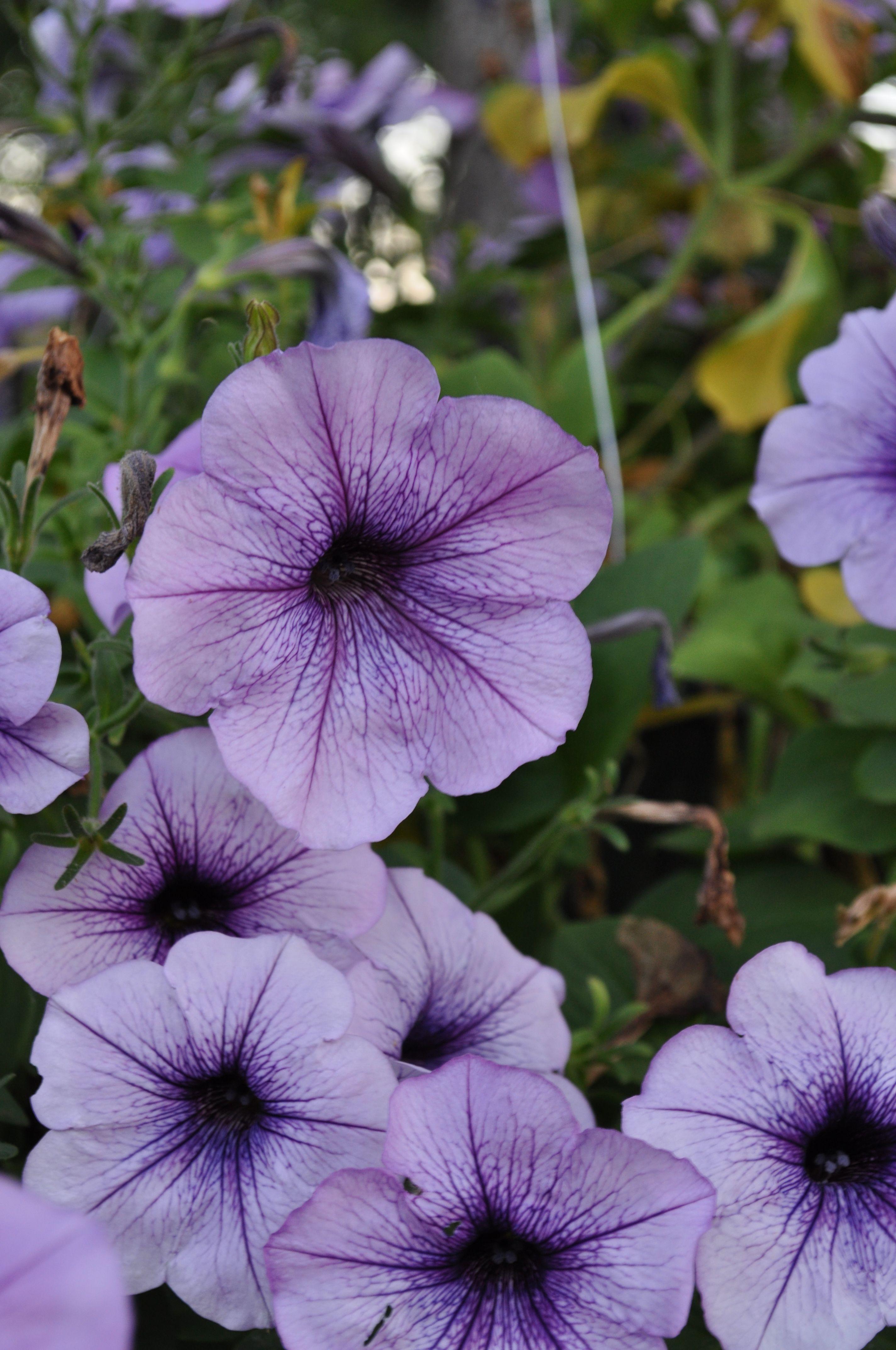 Petunias Petunia Plant Purple Petunias Beautiful Flowers
