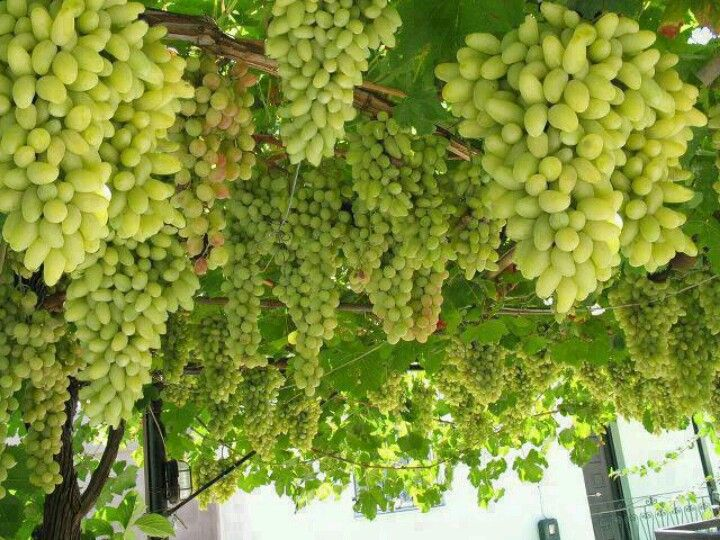 Wow Grapes Green Grapes Nutrition Grapes Coconut Milk Nutrition
