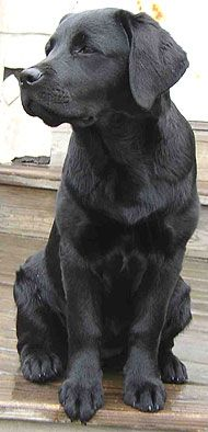 Love Labs This Appears To Be Young Dog He Seems Very Well Formed Labrador Retriever Black Labrador Retriever Sporting Dogs Breeds