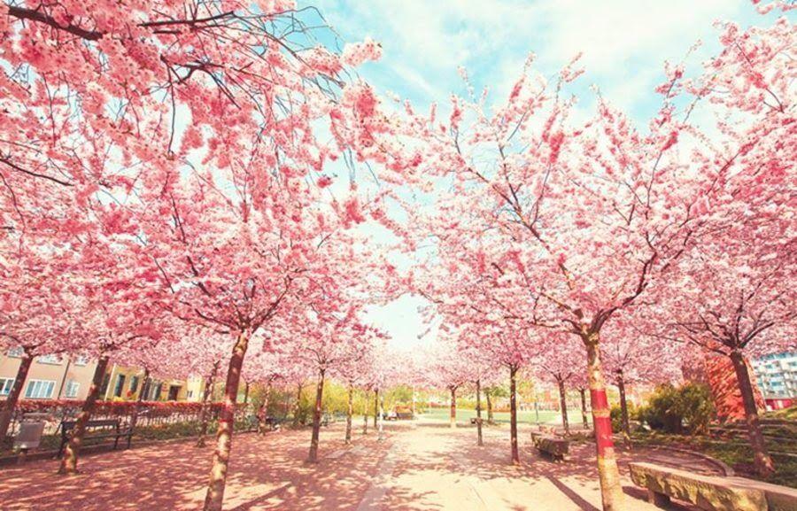 Pin By Devin Rastafara On Nội Dung Toi đa Lưu Scenery Wallpaper Girl Wallpaper Background Hd Wallpaper Cherry blossom wallpaper hp