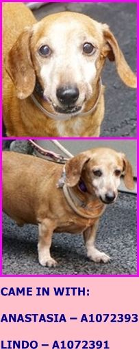 All 3 Save Super Urgent Manhattan Center Scooby A1072392 I Am An Unaltered Male Tan And White Dachshund Mix The Shelter Staff Think I Am Ab Dachshund Mix
