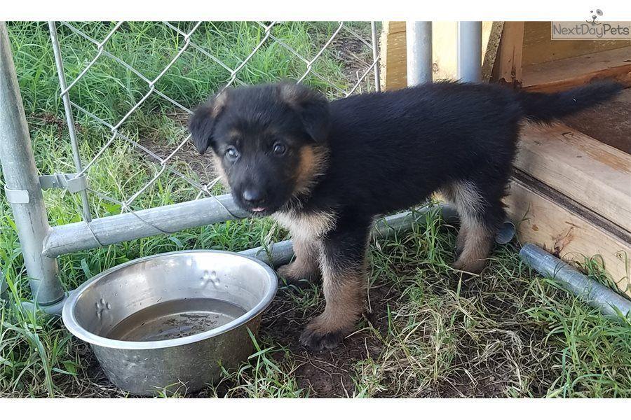 Reg AKC German Shepard Puppies #germanshepards Reg AKC German Shepard Puppies #germanshepards Reg AKC German Shepard Puppies #germanshepards Reg AKC German Shepard Puppies #germanshepards