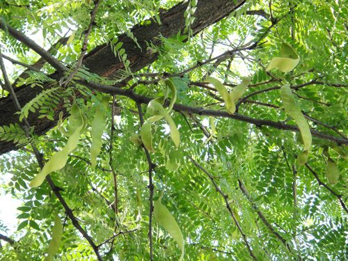Honey Locust Tree 2 On The Back Patio Keep Pruning To Control Height
