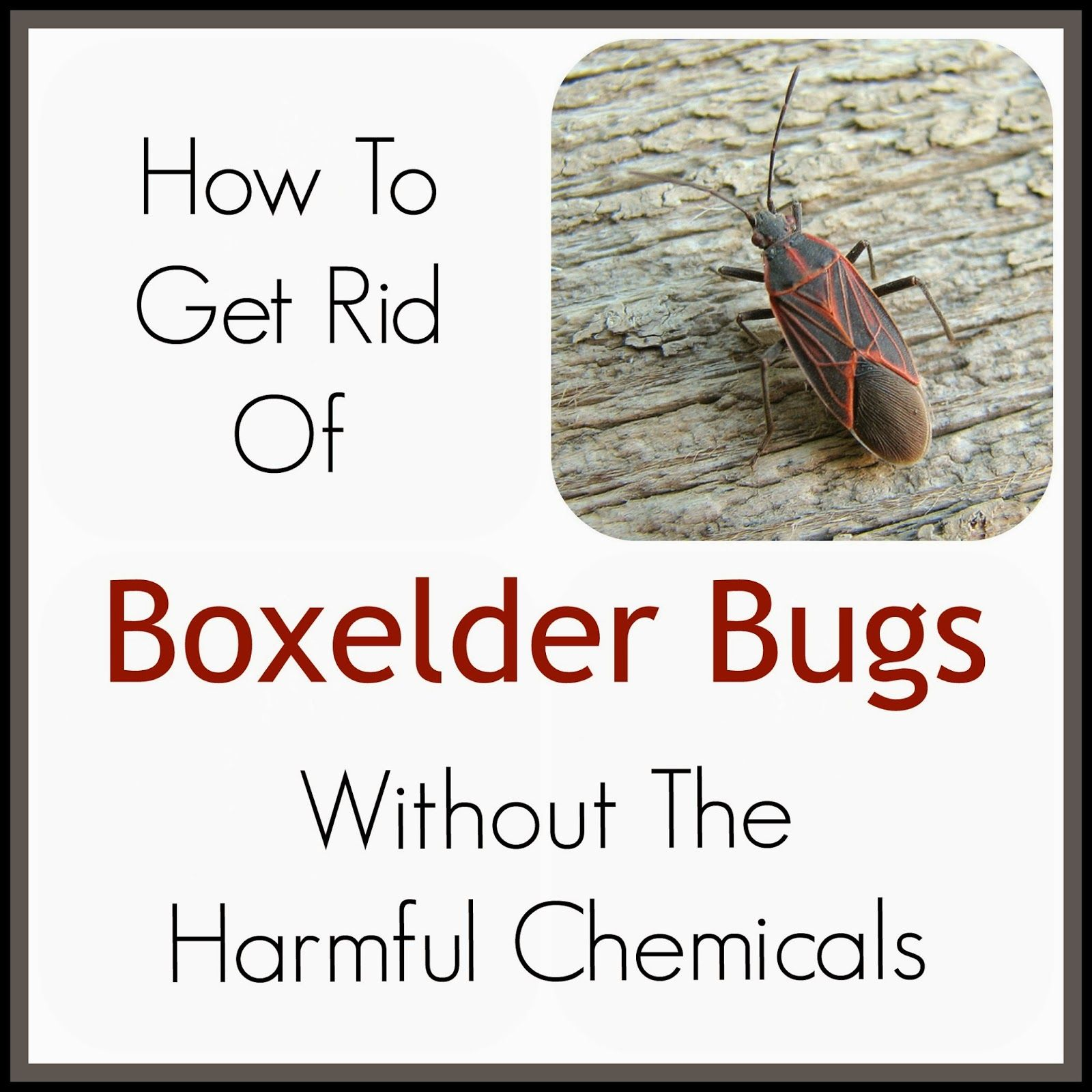 The Thriftiness Miss How To Get Rid of Boxelder Bugs