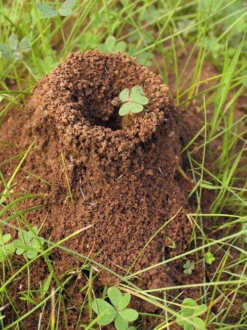 Ant Mound. Veg GardenGarden PestsKilling Ants NaturallyKill ...