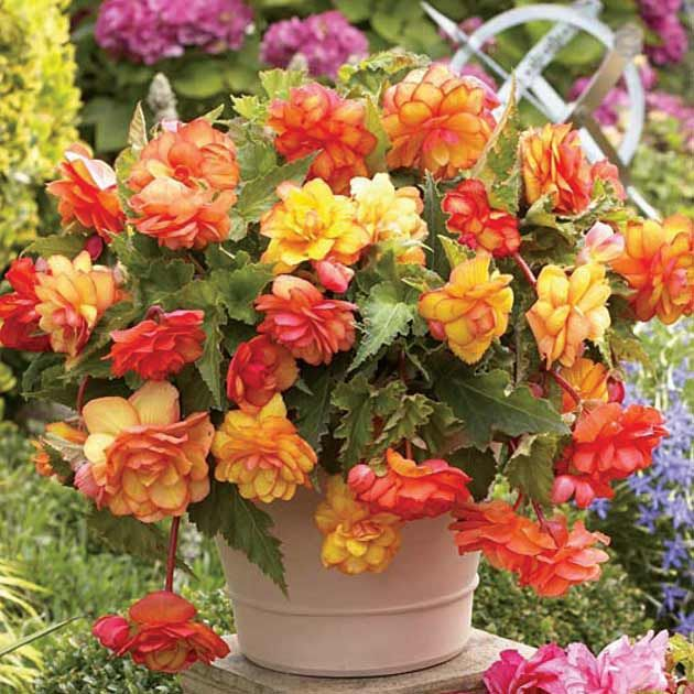 Begonia Golden Wave Novelty Begonia Each Petal Is Edged In A Different Colour With No Two Blooms Alike Perfect For Beautiful Flowers Begonia Bulb Flowers