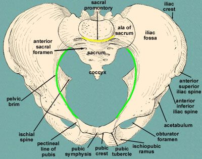 Bony Pelvis The Hip Bone Is Originally Made Up Of Three Bones That