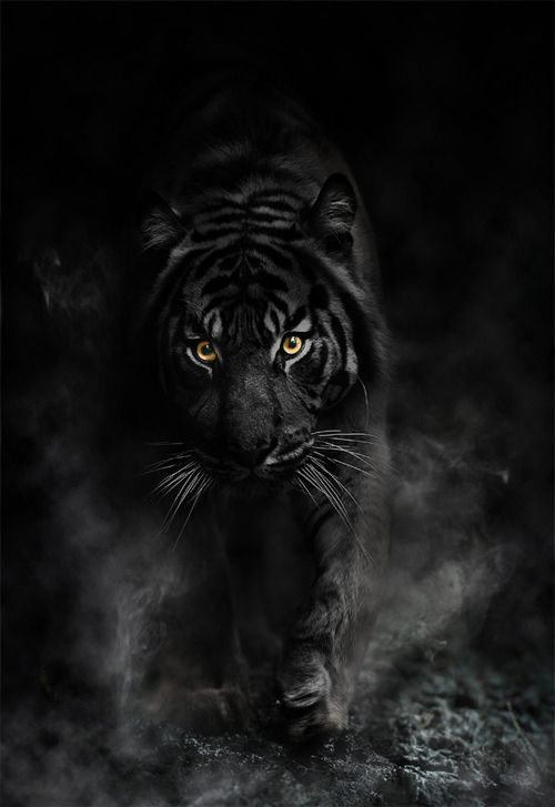 Black Animals Google Search Animals Majestic Animals Black Tigers