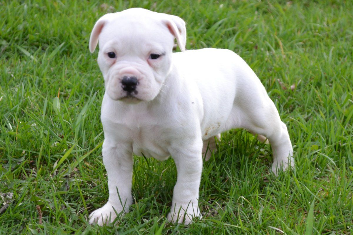 American Bulldog Puppy Bulldog Puppies Pitbull Mix Puppies