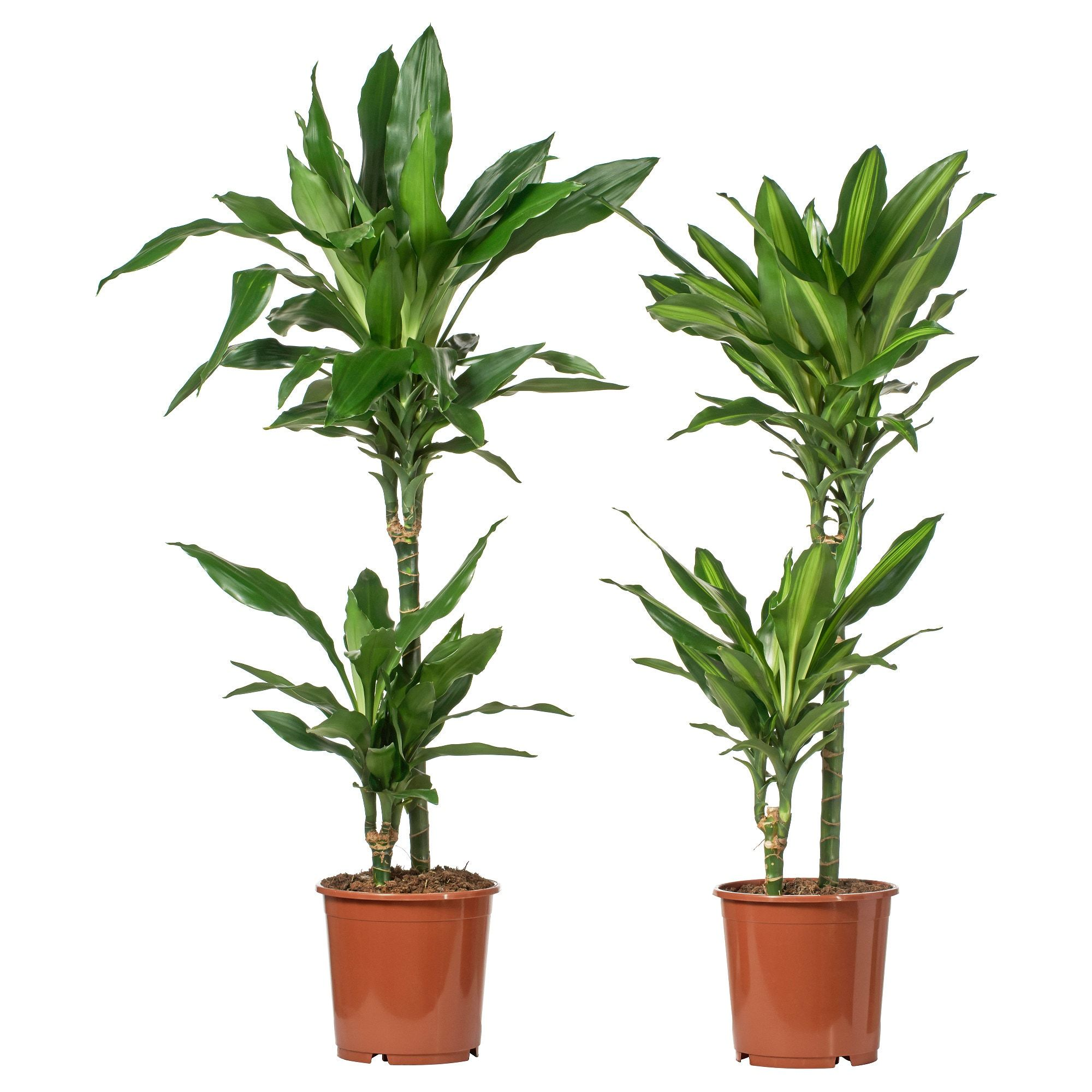 Dracaena Potted Plant  Ikea