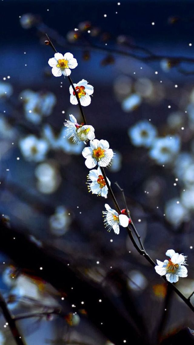 9cc3fe50b84 Plum blossom #iPhone #5s #Wallpaper Download | Enjoy the beauty in the cold  season .
