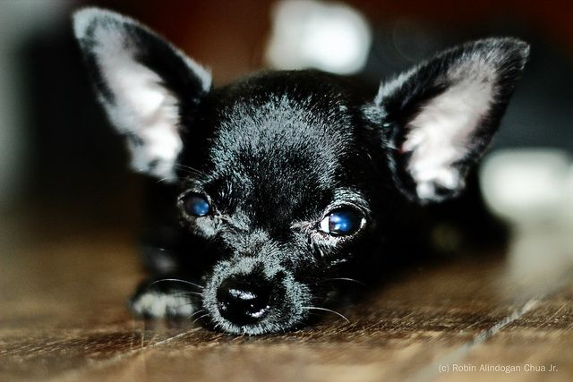 Cheeky Doxies Crotchface Frenchie Side Eyes Your Top Pup Pics