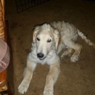 Finley 16 180 Retrieve A Golden Of The Midwest Poodle Mix Puppies Golden Retriever Poodle Mix Pet Adoption