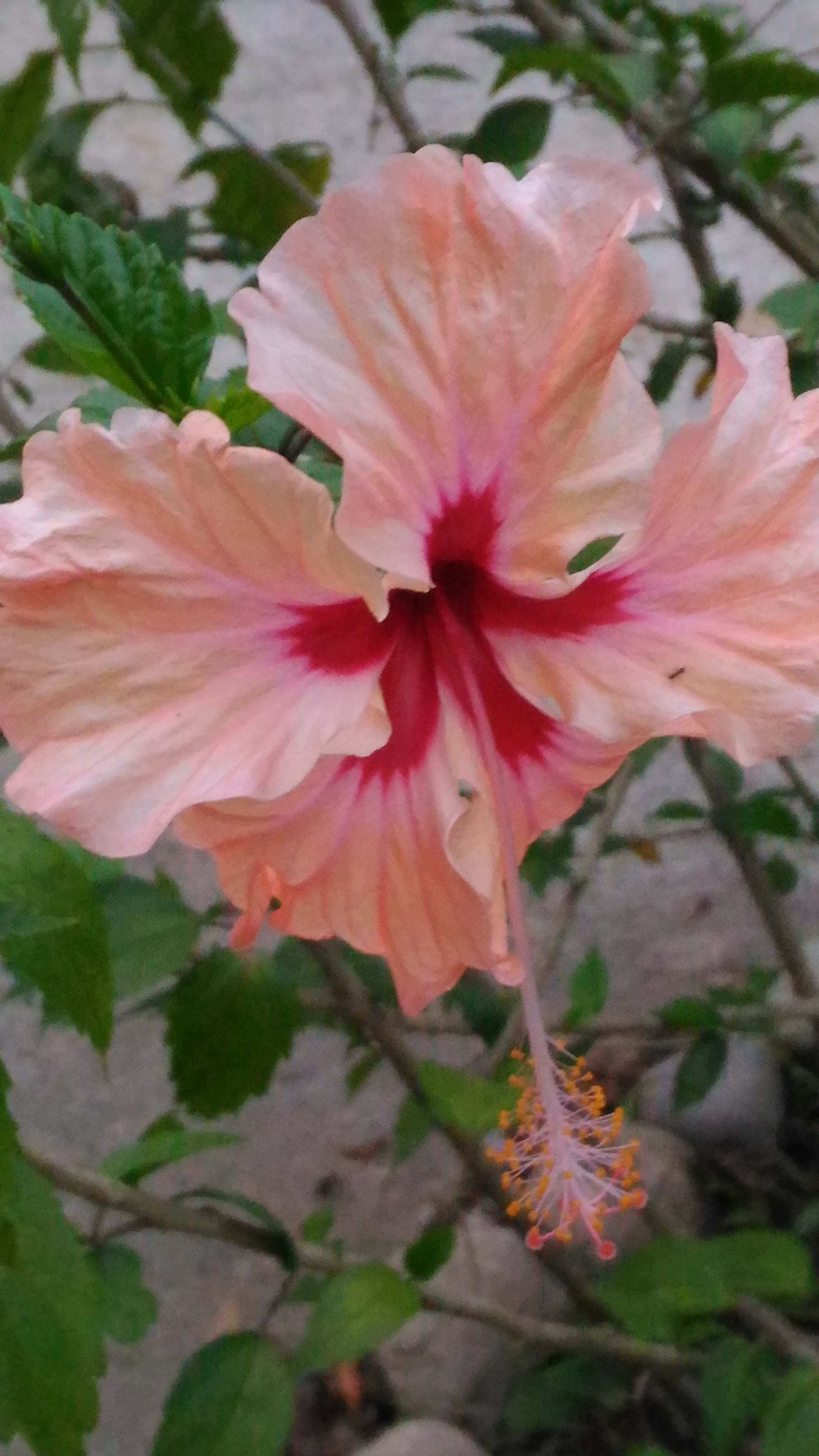 Hibiscus Flowers In Our Yard Moving To Costa Rica Jungle Life Hibiscus Flowers