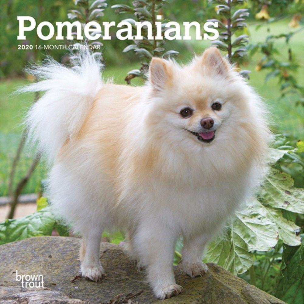 Pomeranian 2020 Mini Calendar Dog Breeds Small Dog Breeds Dog
