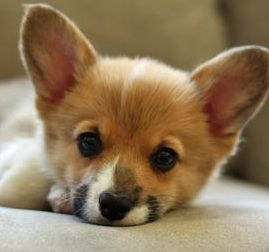 Welsh Corgi Puppies Pictures Of The Welsh Corgi Dog Breed Welsh Corgi Puppies Corgi Dog Corgi Dog Breed