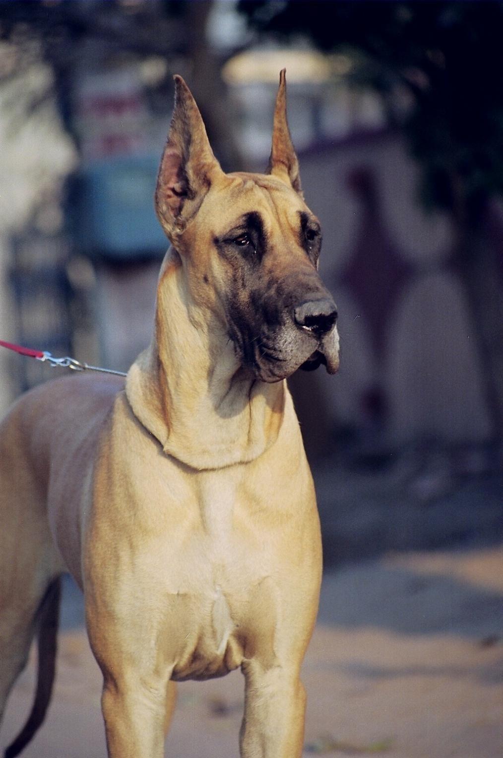 Sandane Kennels Great Danes Gurgaon Dane dog, Dog