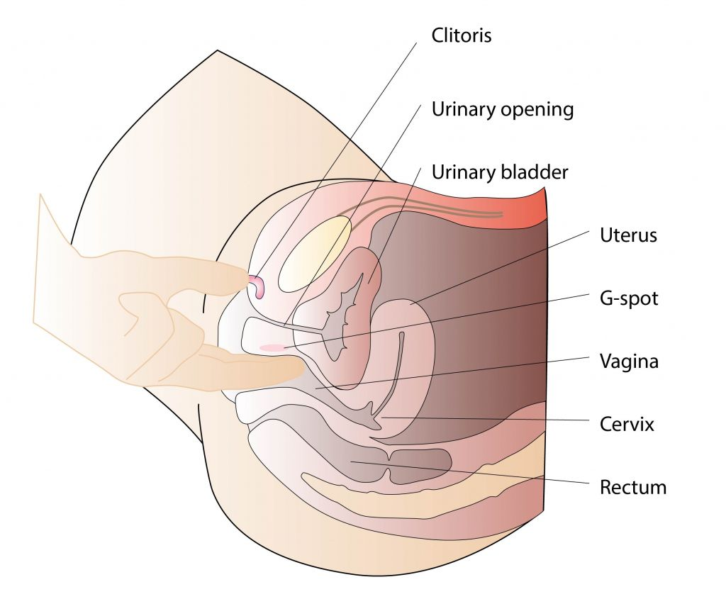 vagina Internal diagram of
