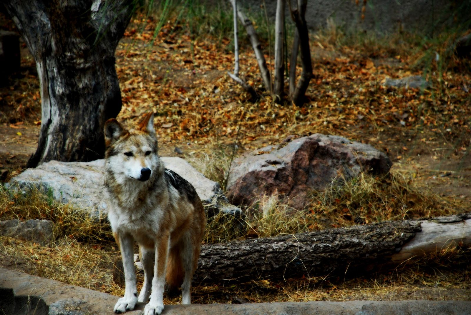 Mexican gray wolf very rare and on the critically