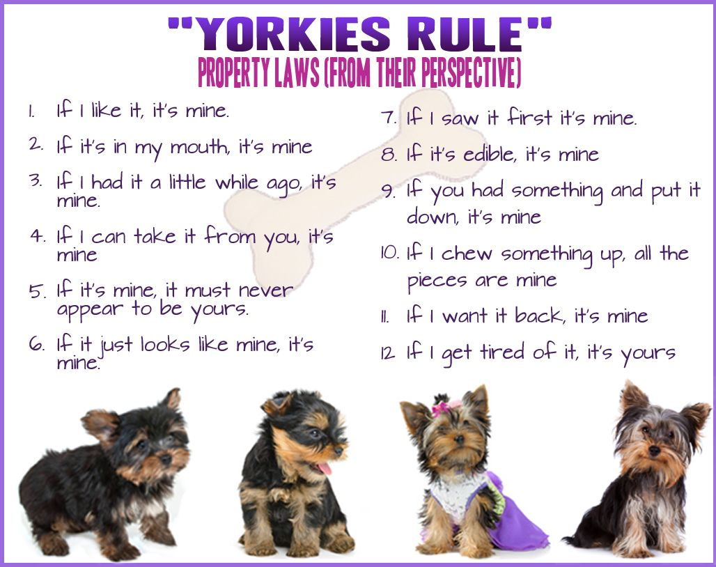 Facts About Yorkshire Terriers Google Search Puppies