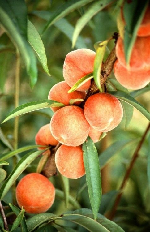 tree-ripened stone fruit ... ahhh summer