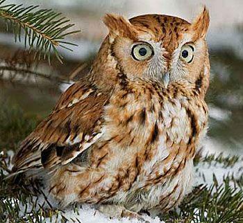 Eastern Screech Owl - (Red)