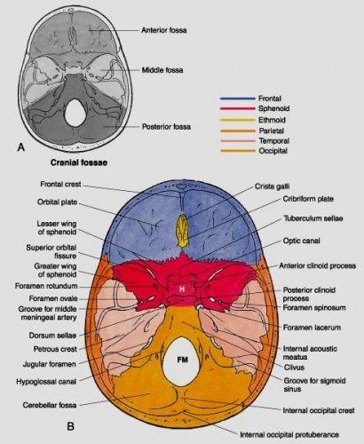 inside skull diagram dodge truck trailer wiring school pinterest anatomy and