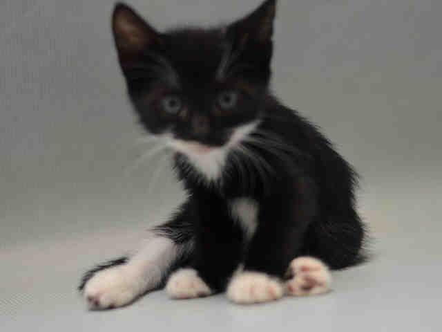 Asya A1078656 Cat Adoption Foster Cat Animals Friends