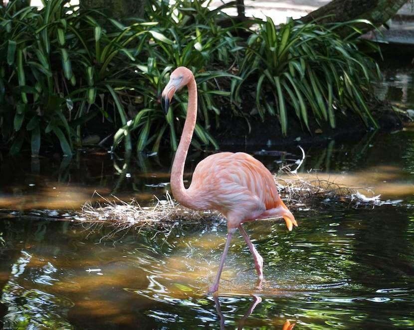 Flamingo At Everglades Wonder Gardens, Bonita Springs Florida Family Fun  Attraction. Must Do Visitor
