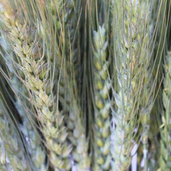 FiftyFlowers.com - Fresh Wheat Greens