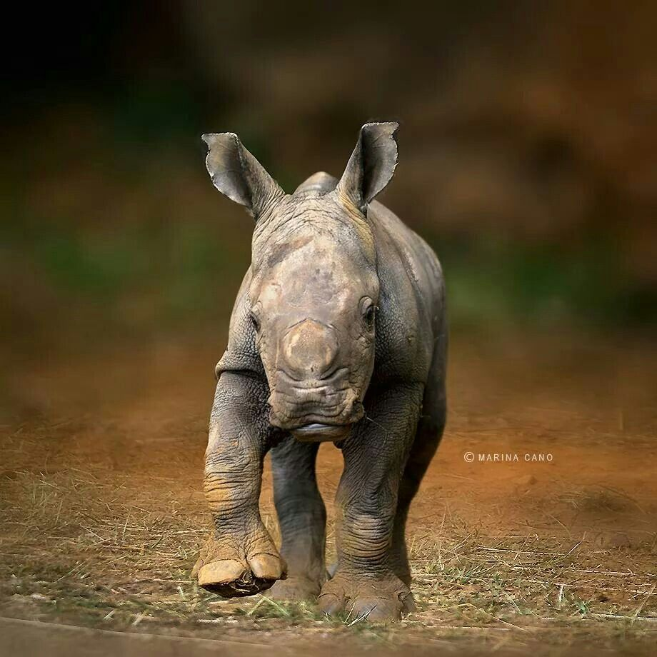 Tiere, Nashorn, Afrika