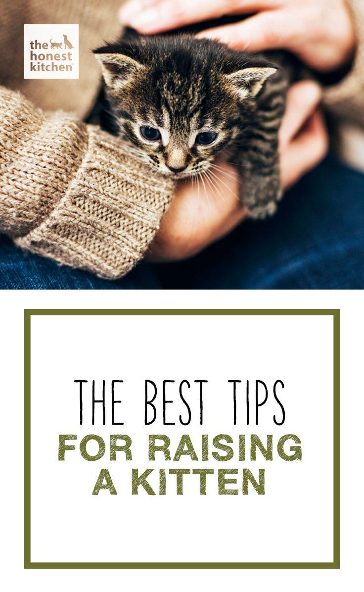 The Best Tips For Raising A Kitten The Honest Kitchen Blog Raising Kittens Kitten Cat Today