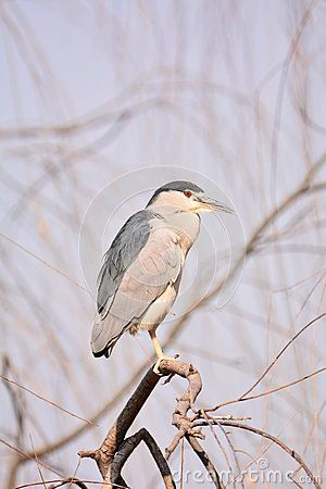 This is called night heron birds, living in the south to Chinese, fish feed, and look very cute, photo taken in Beijing zoo.