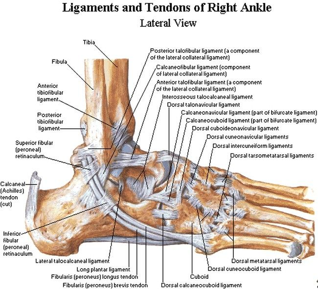 Large30 Foot Ligaments Lateral  Side  Jpg  650 U00d7592