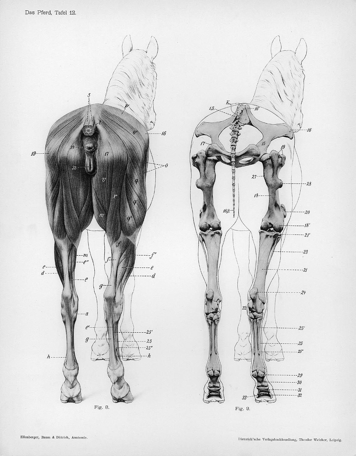 Horse anatomy by Herman Dittrich – rear musculature and bones ...