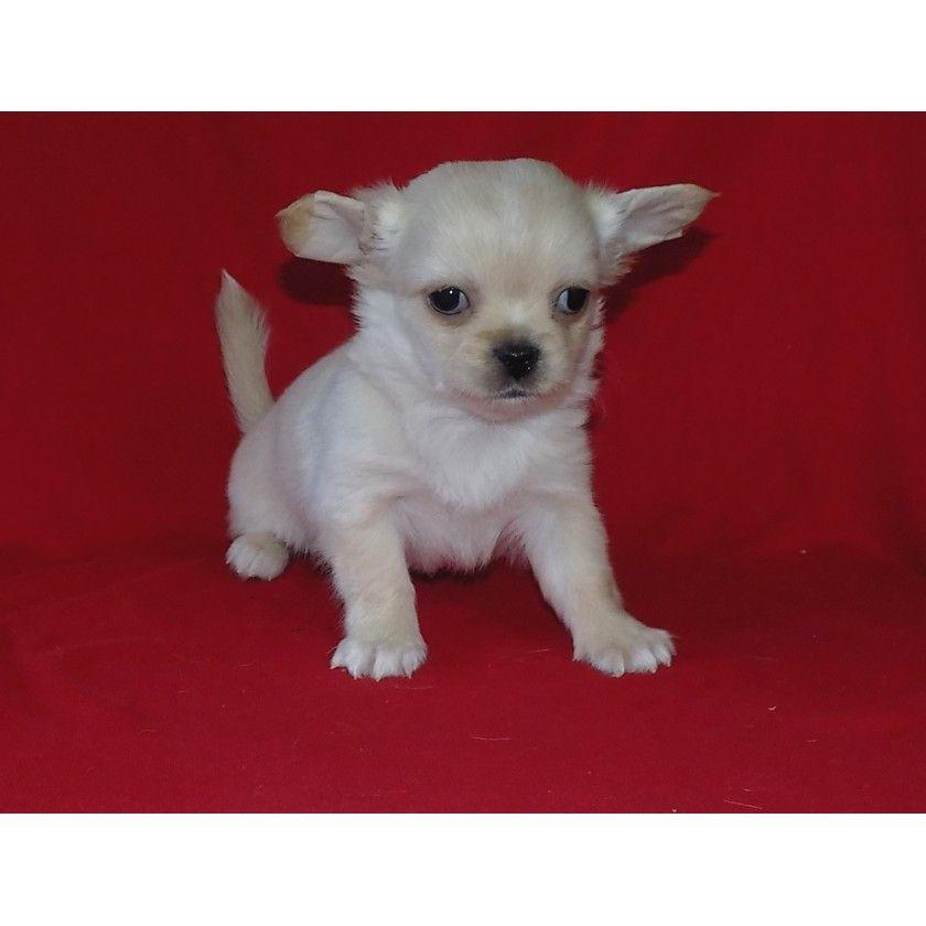Malchik Chihuahua Critters Chihuahua Puppies Chihuahua For