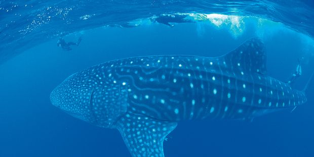 Snorkellers have a close encounter with a whale shark at Ningaloo Marine Park.