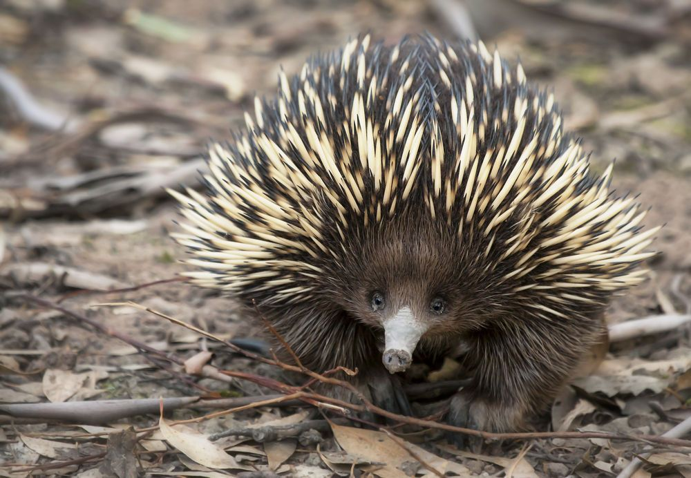 Facts About Echidnas