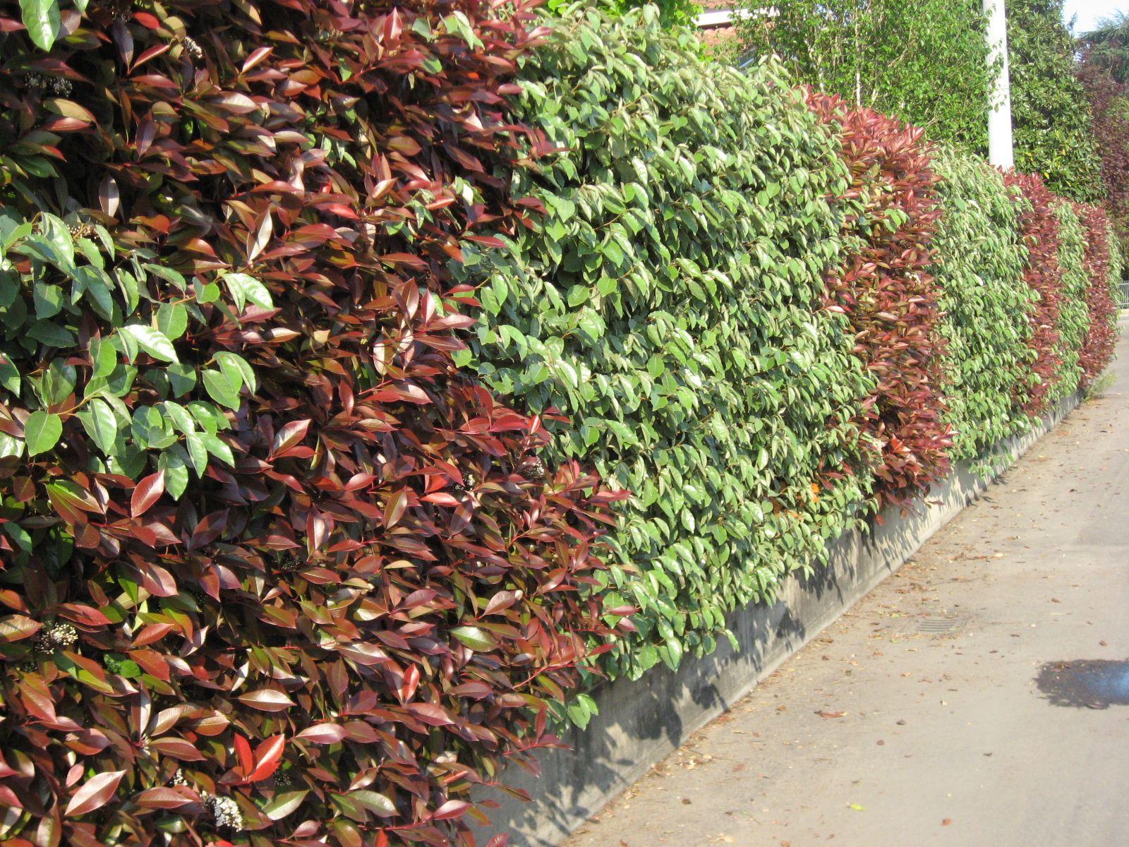 Siepi Miste Da Giardino siepe mista photinia eleagnus (con immagini) | siepi