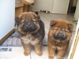 Adopt Chip And Dale On Chow Chow Dogs Cute Baby Animals Dogs