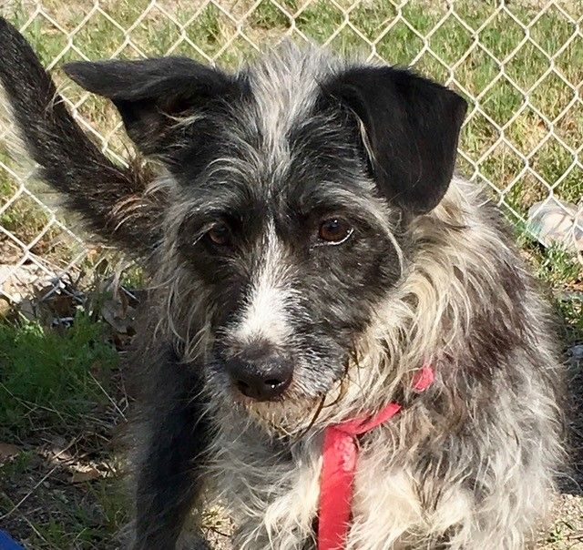Adopt Bandit on Cairn terrier mix, Terrier mix dogs, Bandit