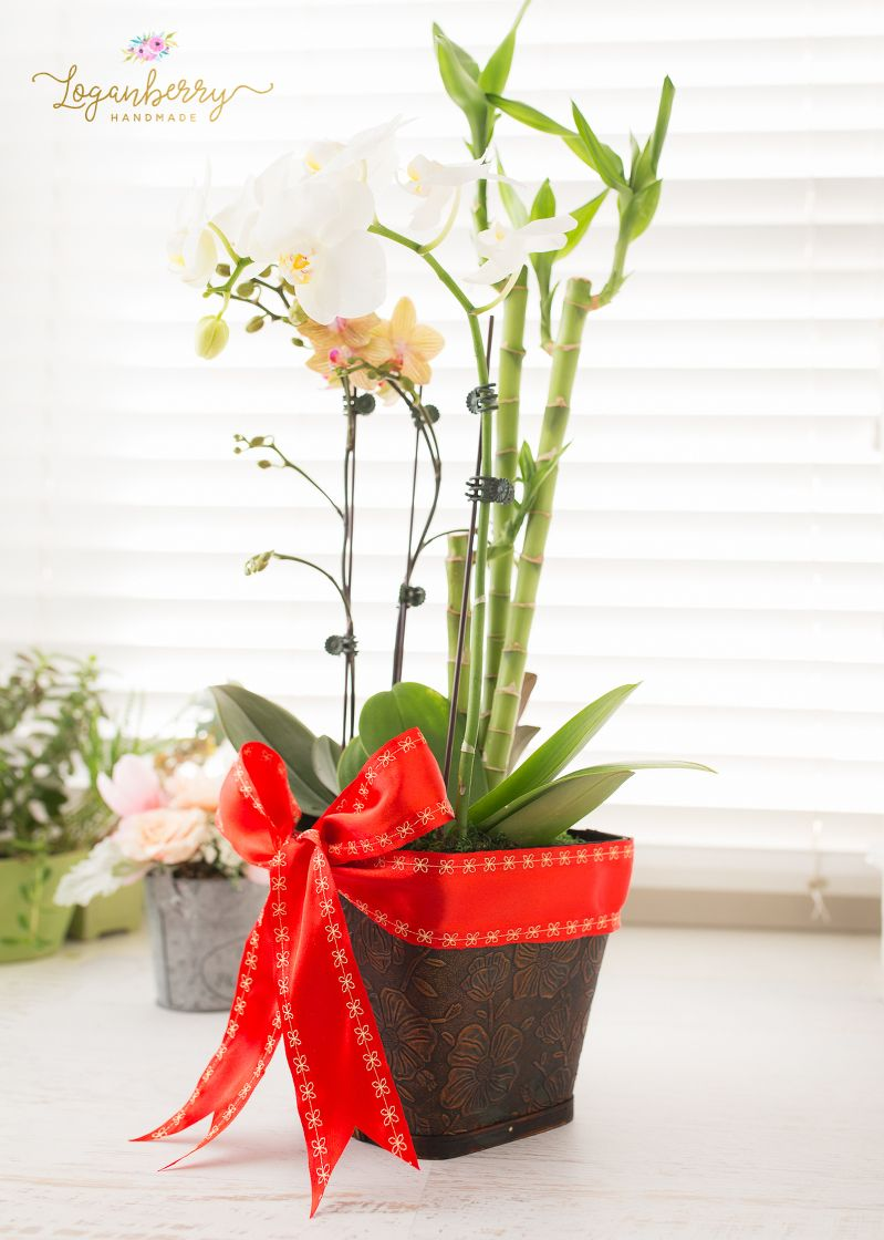 how to grow chinese lucky bamboo