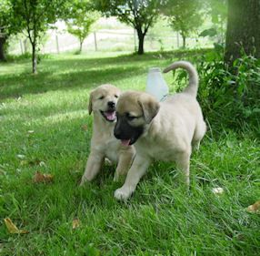 C Mon Let S Go Learn Our Stuff Anatolian Shepherd And Golden