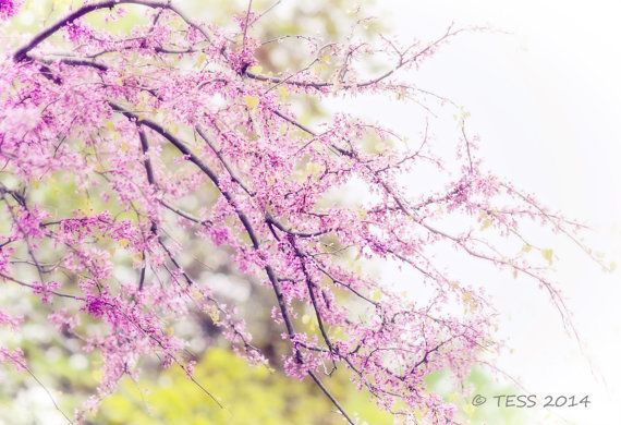 Spring Redbud Blossoms Print Floral by PhotographybyTess on Etsy