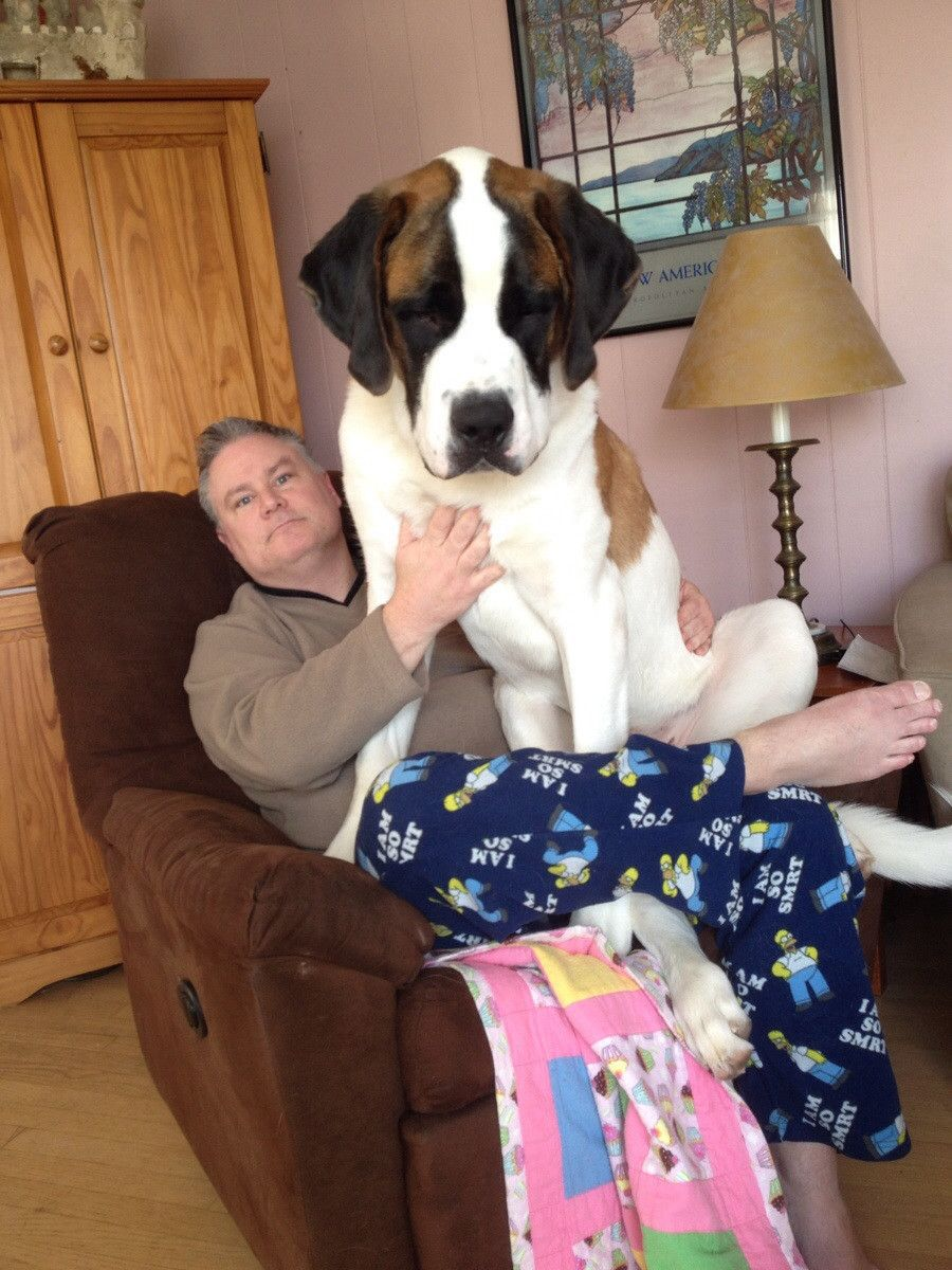 15 Enormous Dogs Who Are Actually Just Big Babies Huge Dogs Giant Dogs Lap Dogs