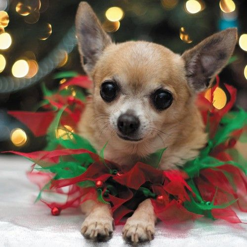 Details About Chihuahua Dogs Birthday Amp Christmas Card