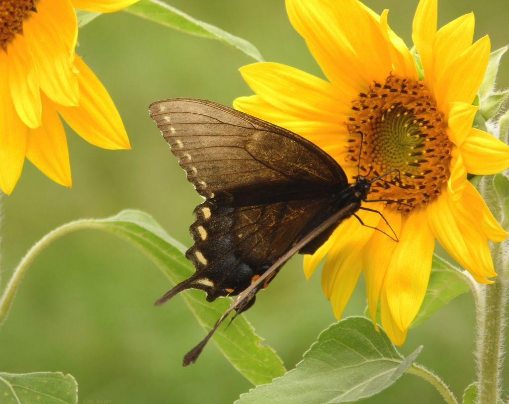 https://flic.kr/p/fr4P69 | Eastern Tiger Swallowtail Butterfly | Female eastern tiger swallowtail butterfly on a sunflower