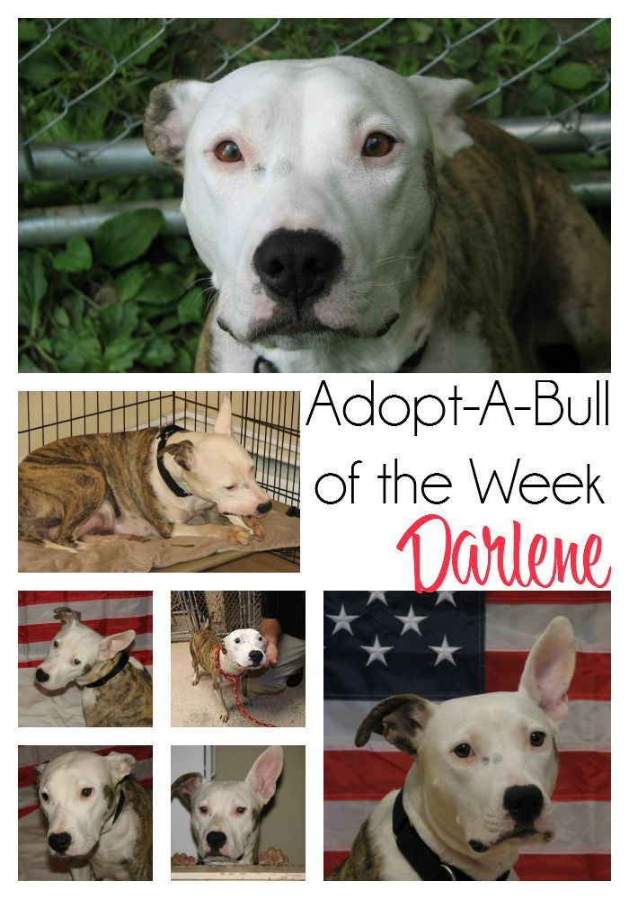 AdoptABull of The Week Darlene Pitbulls, Adoption