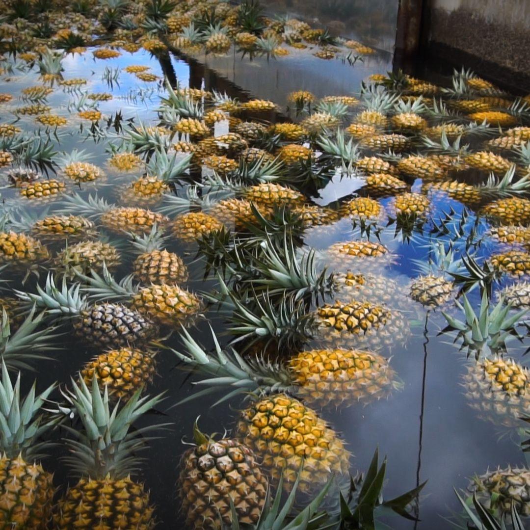 Confira a receita de Tour na Plantação de Abacaxi em Maui