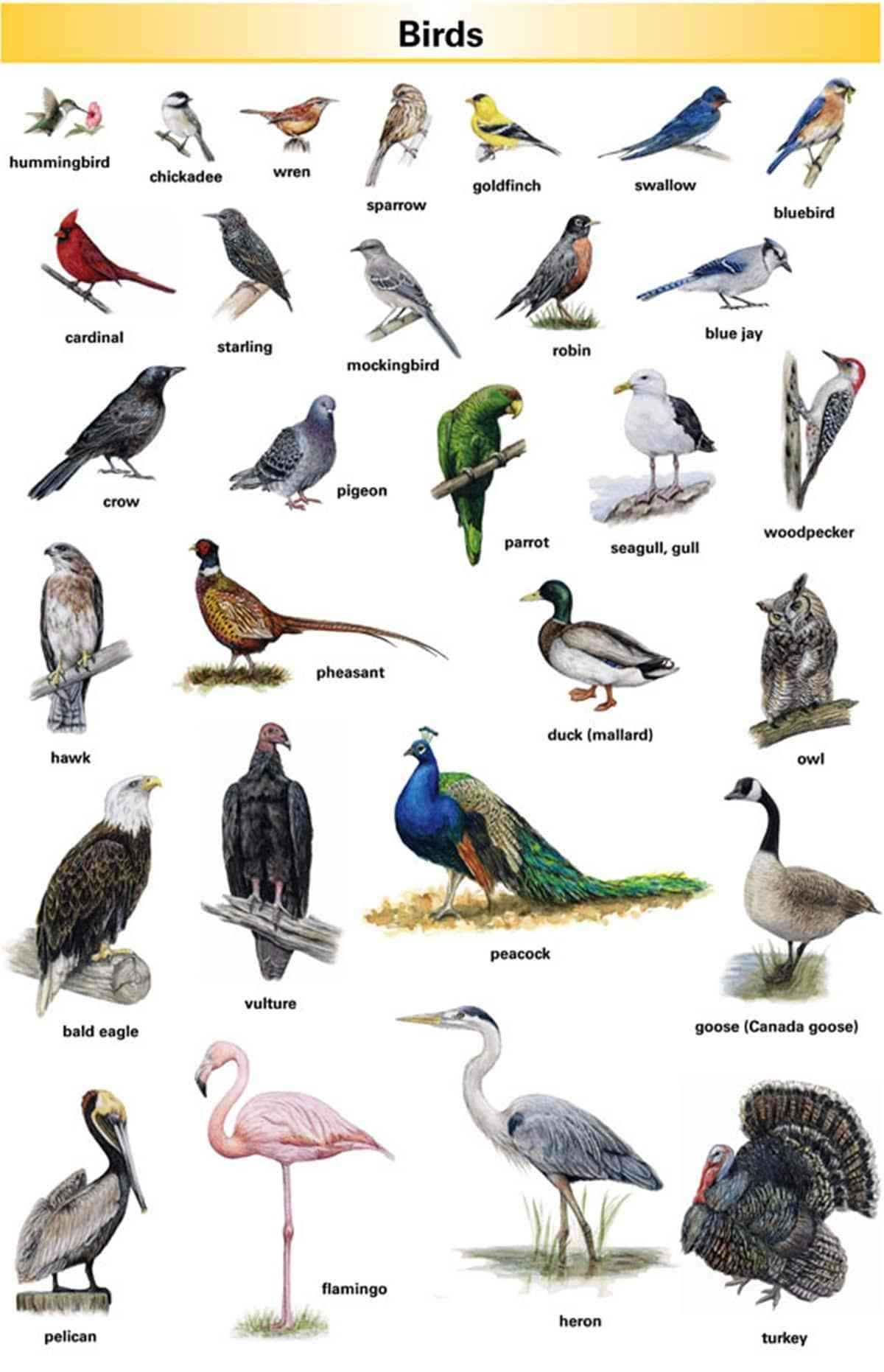 Bird Vocabulary And Parts Of A Bird